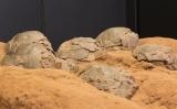 Ous de dinosaure trobats a Coll de Nargó (Alt Urgell)