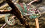 Un camaleó ben tranquil dalt d'un arbre