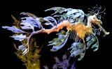 Cavallet de mar foliaci
