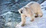 Ós polar