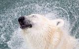 A l'ós polar no li fa por l'aigua freda!