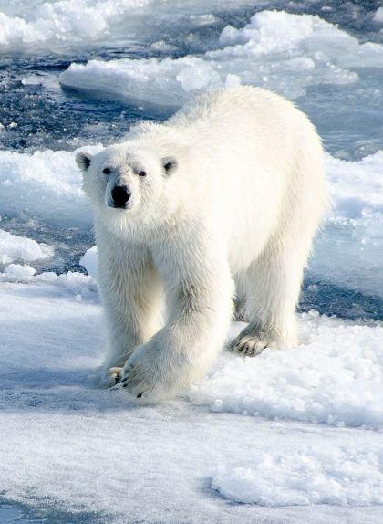 Ós polar sobre les plaques de gel