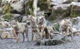 Bandada de llops grisos