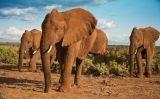Elefants africans