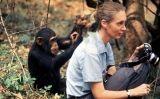 Jane Goodall i un ximpanzé curiós